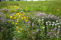 Summer, prairie wildflowers in meadow at Crow-Hassan Park, Minnesota; Gray-headed Coneflower (Ratibida pinnata), Bergamot or Bee Balm (Monarda fistulosa)