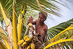 A local i-Kiribati collecting sap from a palm tree to produce toddy on the island of Kiritimati, Kiribati.