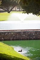 Ducks at Cerritos Iron-Wood Golf Course
