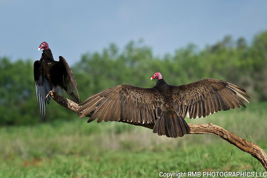 Turkey Vulture sunning