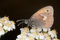 Kleines Wiesenvögelchen, Wiesen-Vögelchen, Kleiner Heufalter, Coenonympha pamphilus, Blütenbesuch auf Schafgarbe, small heath