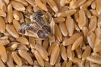 Mehlzünsler, Mehl-Zünsler, auf Getreidekörnern, Pyralis farinalis, meal moth, Flour Moth, la Pyrale de la farine, Vorratsschädling, Zünsler, Pyralidae