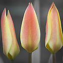 Tulipa clusiana 'Sheila', early April. A cultivar bred from the original wild clusiana species tulips found from Kashmir through northern Pakistan to Afghanistan and Iran, and naturalized in southern Europe from Spain to western Turkey.