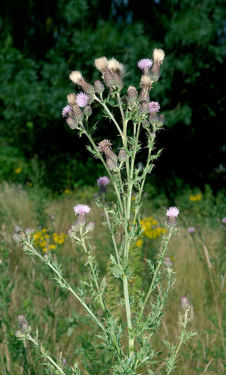 CREEPING THISTLE Cirsium arvense (Asteraceae) Height to 1m. Creeping perennial with upright, unwinged and mostly spineless flowering stems. Grows in disturbed ground and grassy areas. FLOWERS are borne in heads, 10-15mm across, with pinkish lilac florets and darker bracts; heads are carried in clusters (Jun-Sep). FRUITS have feathery pappus hairs. LEAVES are pinnately lobed and spiny, the upper leaves clasping. STATUS-Widespread and common throughout the region.