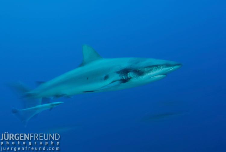 Grey reef sharks at North Horn with motion blur.Carcharhinus amblyrhynchos