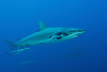 Grey reef sharks at North Horn with motion blur.Carcharhinus amblyrhynchos