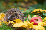 A rescued European Hedgehog (Erinaceus europaeus) about to be released. North Wales,UK