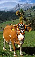 AUT, Oesterreich, Salzburger Land, Dienten, Almabtriebsfest, geschmueckte Kuh | AUT, Austria, Salzburger Land, Dienten, traditional festival driving cattle down from the Alps, decorated cow