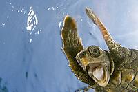 loggerhead sea turtle, Caretta caretta, juvenile, being released into the wild, Palm Beach, Florida, USA, Caribbean Sea, Atlantic Ocean