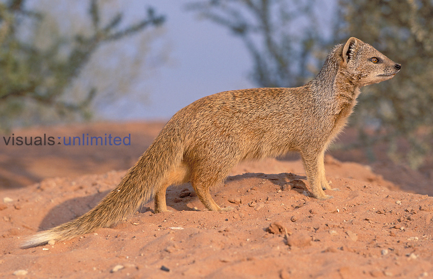 Yellow Mongoose (Cynictis penicillata), Kgalaadi Transfrontier Park, South Africa.