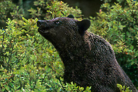 609682309 a wild adult brown or grizzly bear ursus arctos forages for berries among wild berry plants in the temperate rainforest near hyder alaska