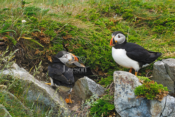 Atlantic Puffins (Fratercula arctica) in breeding plumage, summer, at burrow. These North Atlantic seabirds come to land every year for about 4 months to breed and raise their young on grassy cliffs and offshore islands, here along the eastern coast of Newfoundland, Newfoundland and Labrador, Canada.