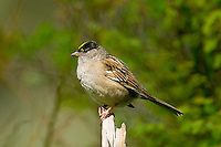 Golden-crowned Sparrow (Zonotrichia atricapilla).  Pacific Northwest.