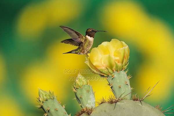 Ruby-throated Hummingbird (Archilochus colubris), male feeding on blooming Texas Prickly Pear Cactus (Opuntia lindheimeri), Dinero, Lake Corpus Christi, South Texas, USA