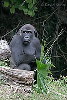 0210-08rr  Western Lowland Gorilla, Gorilla gorilla gorilla © David Kuhn/Dwight Kuhn Photography