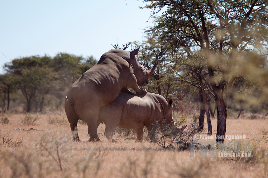 White Rhino mating (Ceratotherium simum), Mokala national park, South Africa.