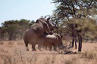 White Rhino mating (Ceratotherium simum), Mokala national park, South Africa.