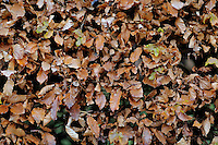 Pictured: A hedge with autumn leaves Friday 02 December 2016<br /> The Sidney Nolan Trust, Rodd, Herefordshire, England, UK