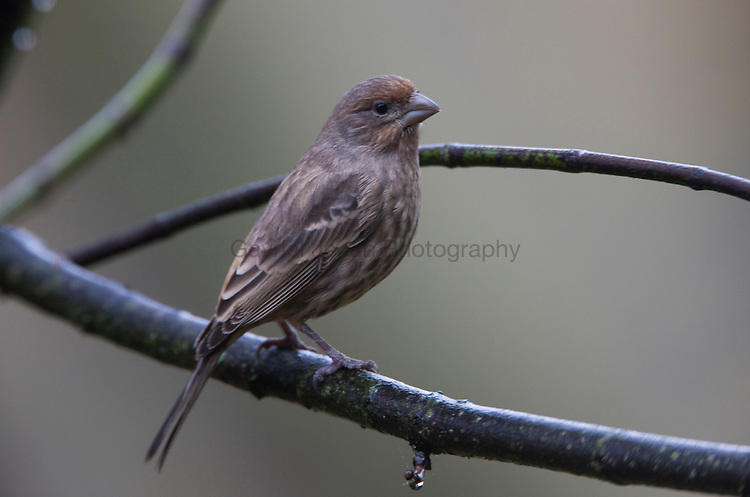 House Finch ( Carpodacus mexicanus)on maple branch