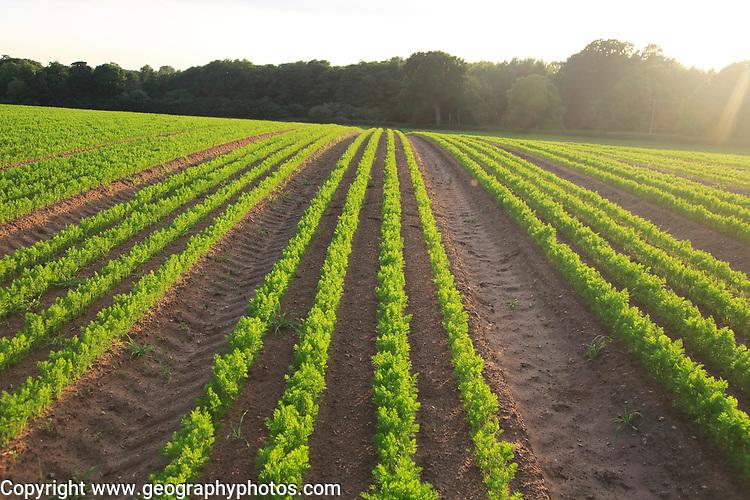 Green lines of carrot crop growing in sandy soil, Shottisham, Suffolk, England, UK