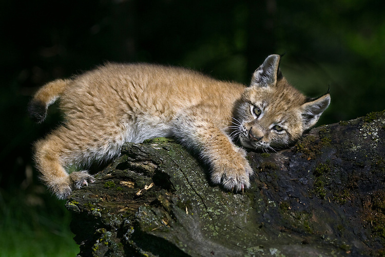 Siberian Lynx kitten (lynx lynx) sleepily lying on an old log near Kalispell, Montana, USA - Captive Animal