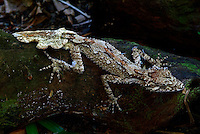 The species Phyllurus are only found here in Australia.The Northern Leaf tailed gecko has 3 isolated populations down the east coast of Australia .This great looking Gecko is as large as any Gecko being 16 cm in length, with some growing to the length of 25cm.The fact that very few adults are found to still have their original tails shows that the gecko do have enemies,this tree dwelling nocturnal animal has sluggish movements and camouflages well with its surroundings. In appearance it's body looks spikey and has thin clawed fingers (digits)helping it climb over rough surfaces. The female of this species lays 2 soft shelled eggs .