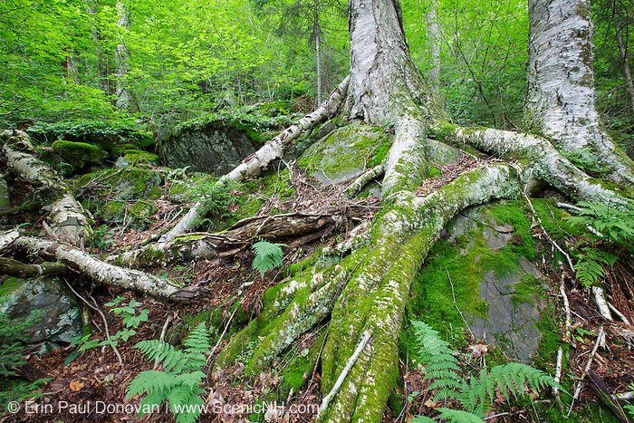Yellow birch on the rocky hillside of Mount Blue in Kinsman Notch of the White Mountains, New Hampshire. This area was part of the Gordon Pond Railroad era, which was a logging railroad in operation from 1907-1916. The  terrain was so rugged in this area that it was inaccessible to the 20th century loggers.