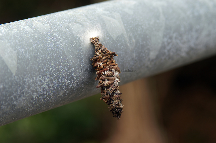 The babworm moth larva uses bits ot twigs to form its cocoon.
