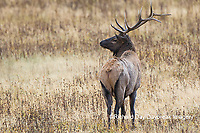 01980-03007 Elk (Cervus elaphaus) bull male, Yellowstone National Park, WY
