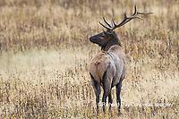 01980-03007 Elk (Cervus elaphaus) bull male, Yellowstone National Park, WY