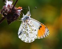 Female Pacific orangetip