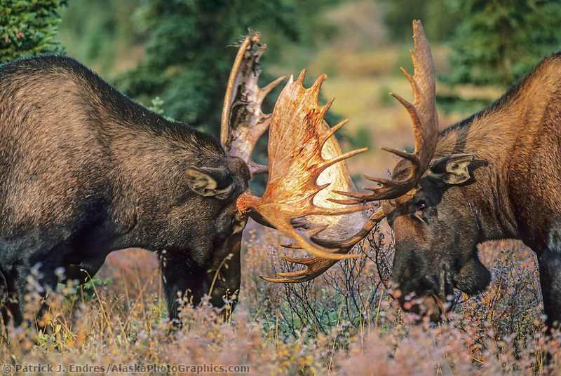 Bull Moose spar with antlers during the rut seasons in the boreal forest, Denali National Park, Alaska.