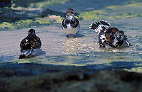 Ruddy Turnstones bathing in tidepool at Laysan I