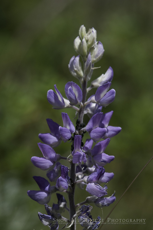 Silvery Lupine wildflower