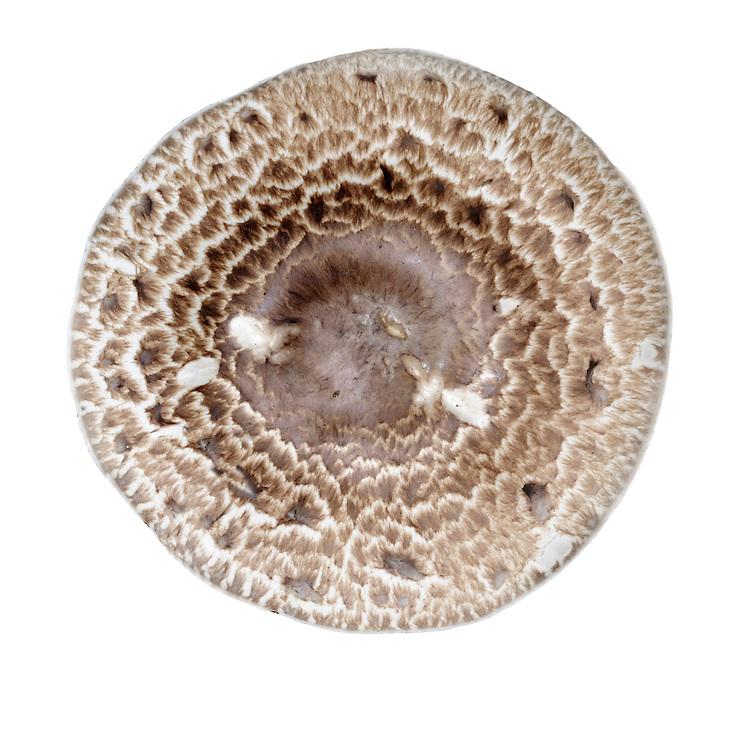 scaly wood mushroom<br /> Agaricus langei