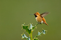 Male Rufous Hummingbird sitting atop holy bush.  Pacific Northwest.