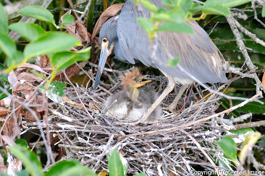 Tricolored Heron Chicks photographed at Wakodahatchee Wetlands, Delray Beach, Florida.