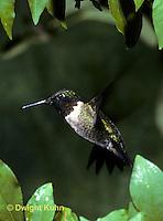 HU11-017x  Ruby-throated Hummingbird - male flying -  Archilochus colubris