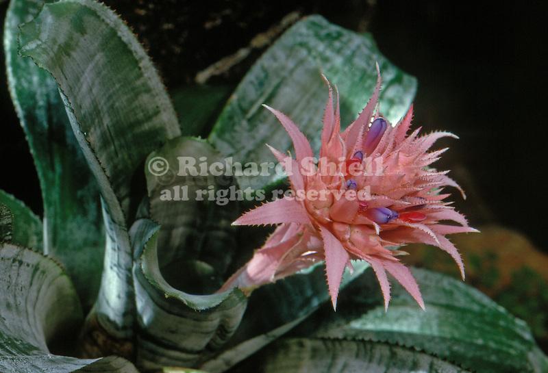 2217-AA Bromeliad, Aechmea fasciata