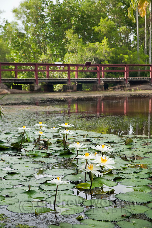 Water lilies at Centenary Lakes.  Cairns, Queensland, Australia