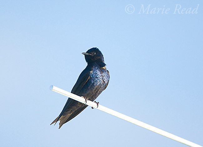 Purple Martin (Progne subis), male, Montezuma National Wildlife Refuge, New York, USA