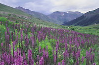 Mountains and wildflowers in alpine meadow,Elephanthead lousewort,Elephant's Head,Pedicularis groenlandica, Ouray, San Juan Mountains, Rocky Mountains, Colorado, USA, July 2007