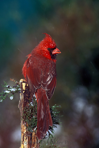 Male Northern cardinal, Cardinal cardinalis, from behind perched on juniper branch in winter with ice on berries