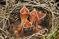 Northern Cardinal (Cardinalis cardinalis), young in nest, Sinton, Corpus Christi, Coastal Bend, Texas, USA
