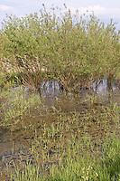 Tümpel, Qualmwasser, Qualmgewässer, Drängewässer, periodisch austrocknender Tümpel, Teich, Laichgewässer für Rotbauchunke und Laubfrosch, Elbe