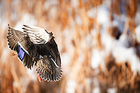 A hen Mallard descends on a wetland near Bozeman, Montana.