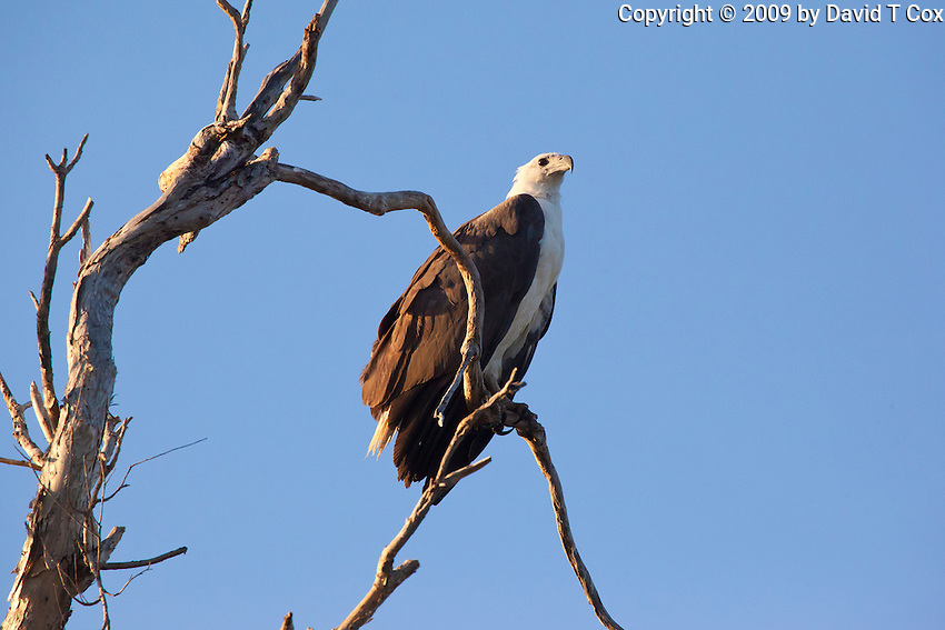 White-Bellied Sea-Eagle, Yellow Water, Kakadu NP, NT, Australia