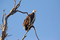 White-Bellied Sea-Eagle, Yellow Water, Kakadu NP, NT, Australia