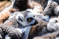 Sweden, Stockholm, Skansen zoo. Ring-tailed lemur.