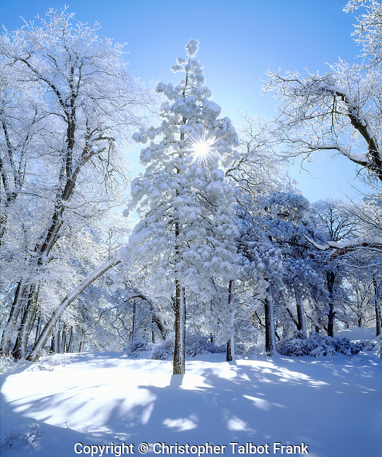 USA, California, San Diego.  Snow covered trees in the Laguna Mountains.  Cleveland National Forest.